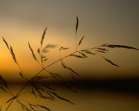 Wheat grass sunset